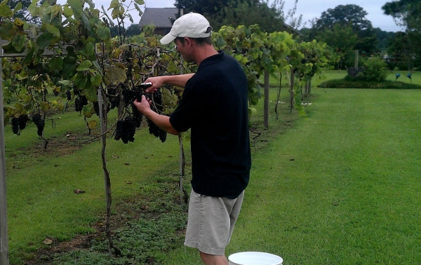 We maintain our own vineyard and grow a variety of grapes.